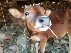 The sassiest cow ever.