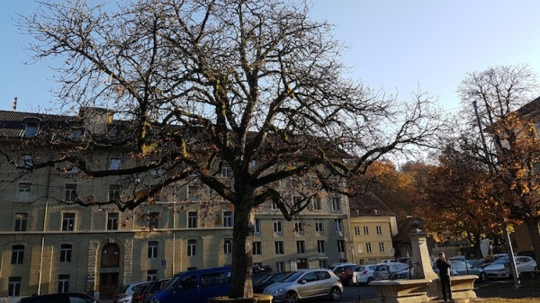 tree-in-bern